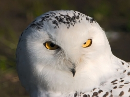 White owl Wallpaper Birds Animals