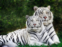 White Phase Bengal Tigers Wallpaper Tigers Animals