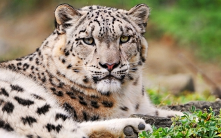 Baby Snow Leopards Wallpapers For Free Download About 340 Wallpapers