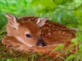 White Tailed Fawn Wallpaper Baby Animals Animals