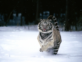 Blue Eyes White Tiger Wallpapers For Free Download About 785 Wallpapers