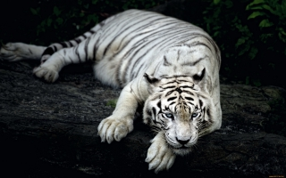 White Tiger Animal