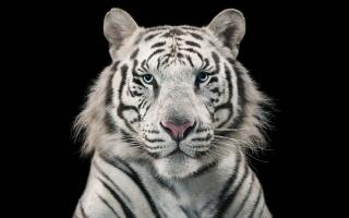 White Tiger Bengal Tiger