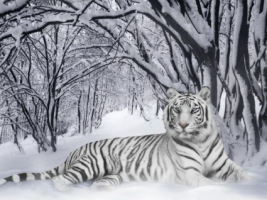 White Tiger Wallpaper Tigers Animals