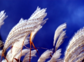 White wheat Wallpaper Plants Nature