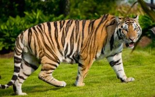 Widescreen Tiger