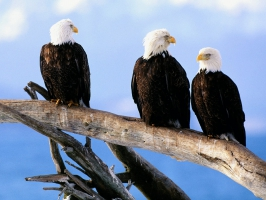 Wild and Free Bald Eagles