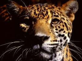 Wild Eyes Wallpaper Big Cats Animals