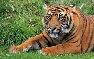 Wild Sumatran Tiger
