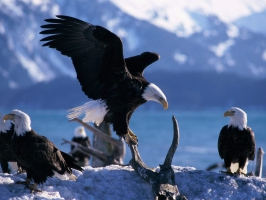 Wings Extended Bald Eagles