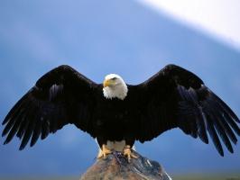 Wingspan Bald Eagle