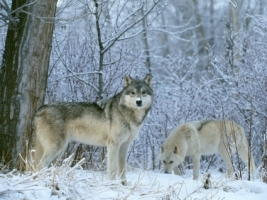 Winter Land Wolves Wallpaper Wolves Animals