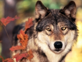 Wolf and Autumn Colors Wallpaper Wolves Animals