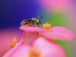 Worker Bee Wallpaper Flowers Nature