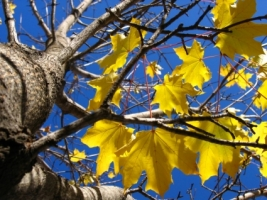Yellow Autumn Leaves Wallpaper Autumn Nature
