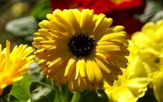 Yellow Calendula Pot Marigold